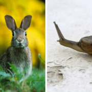 Hoe een slak een haas vangt